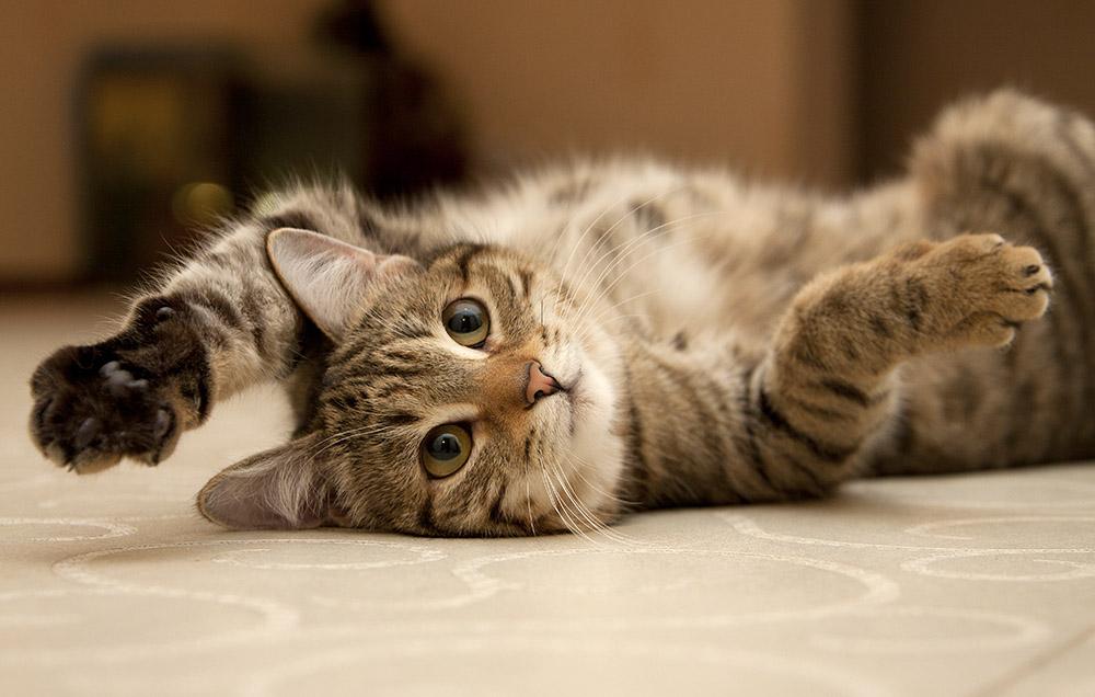 """En Clínica Veterinaria Albéitar estamos a tu disposición para responder cualquier pregunta o inquietud sobre tu gato y sobre nuestros servicios y condición de """"Clínica Amable con los Gatos"""""""